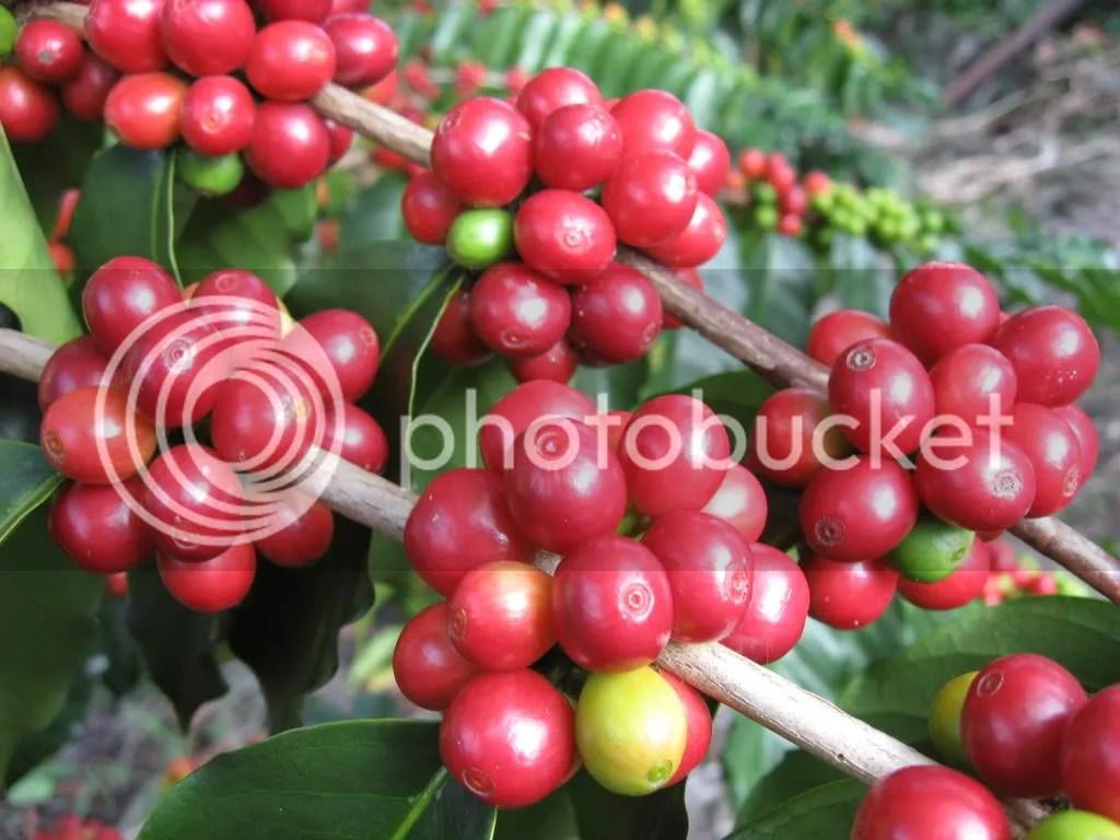 Image Result For Kona Farm Direct Coffee