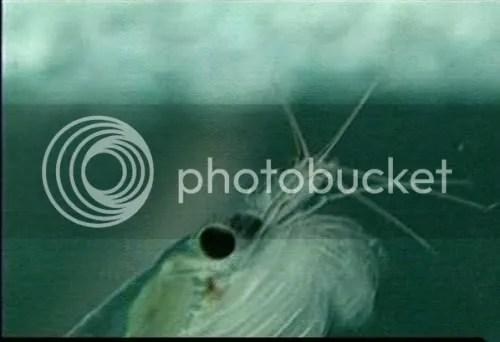Invertebrata krill