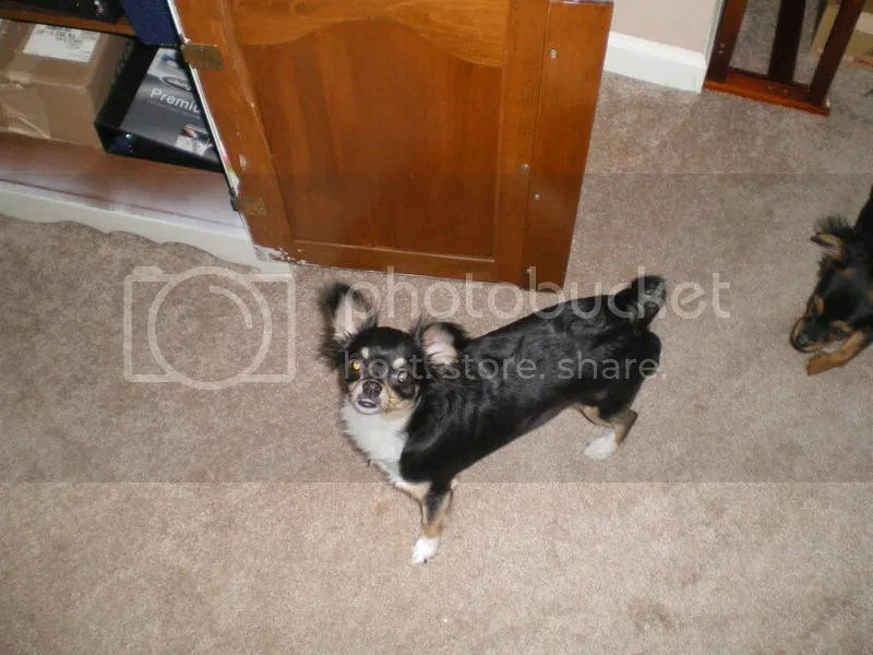 My Chihuahua Freya