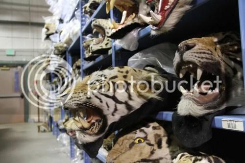 Racing Extinction Tiger Skins credit Ethan Johnson OPS
