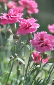 pink carnations photo: MiscFlowersandOrchids088.jpg