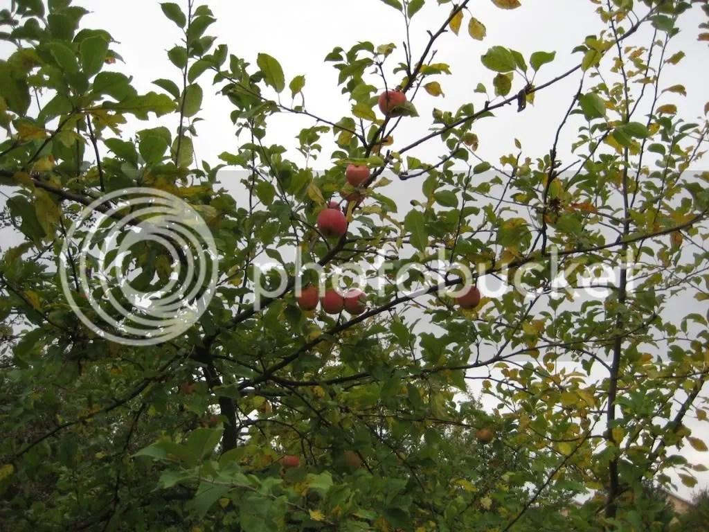 äpplen i Gyllins