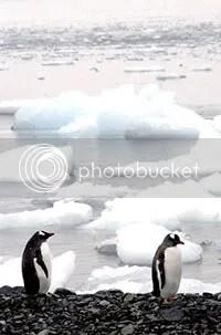 Pinguins na Baá do Almirantado proximo à Estação do Brasil na Antártida Comandante Ferraz Arquivo-ABr