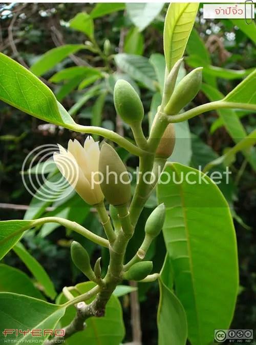 จำปีจิ๋ว, จำปี, ไม้ดอกหอม, แมกโนเลีย, วงศ์จำปี, Magnolia hybrid, ต้นไม้, ดอกไม้, aKitia.Com