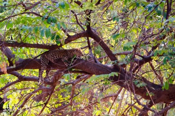 leopardIzzy1.154458.jpg