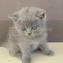 Grey angry kitten Pictures, Images and Photos