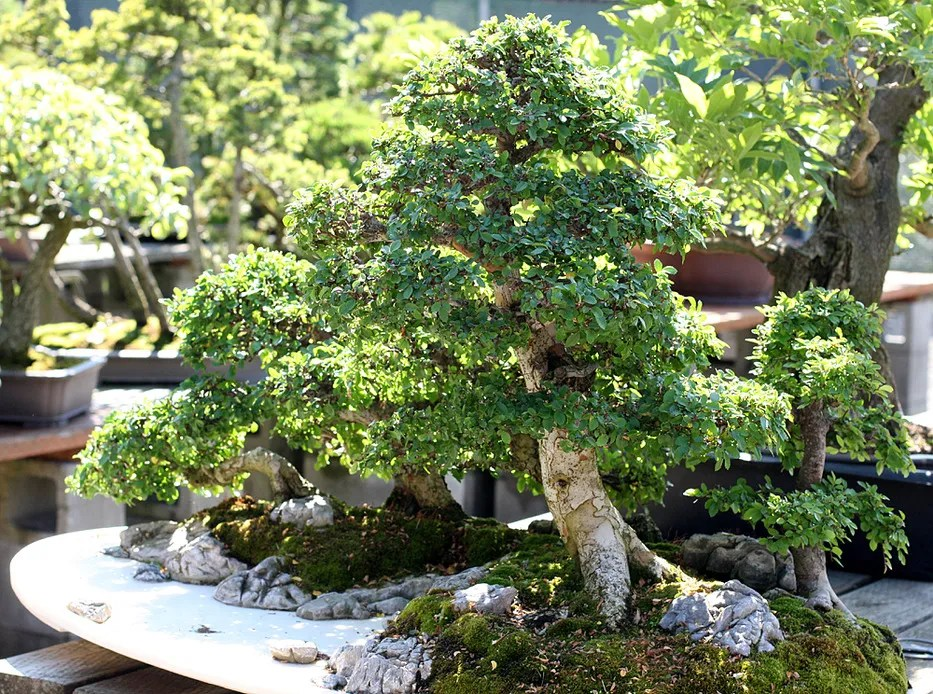 Chinese Elm - other view.