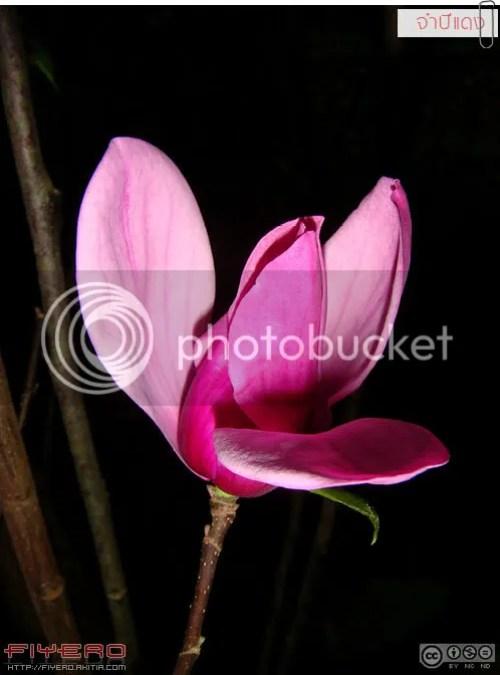 จำปีแดง, แมกโนเลีย, ไม้ดอกหอม, Magnolia, Magnolia liliiflora, ต้นไม้, ดอกไม้, aKitia.Com