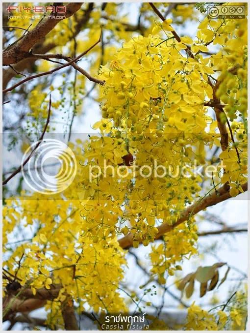 คูน, ราชพฤกษ์, ลมแล้ง, Cassia fistula, ต้นไม้, ดอกไม้, aKitia.Com