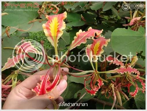 ชงโคฮาลาบาลา, ชงโคดำ, ชงโคไฟ, ชงโคขาว, Bauhinia pottsii var. mollissima, Bauhinia pottsii var.subsessilis, ไม้หายาก, ไม้ดอกหอม, ไม้เลื้อย, Legume, aKitia.Com