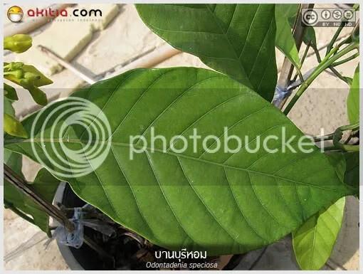 บานบุรีหอม, บานบุรีแสด, Odontadenia speciosa, ไม้ดอกหอม, ไม้เลื้อย, ดอกสีเหลือง, ออกดอกทั้งปี, ไม้ดอก, ไม้ประดับ, ต้นไม้, ดอกไม้, aKitia.Com