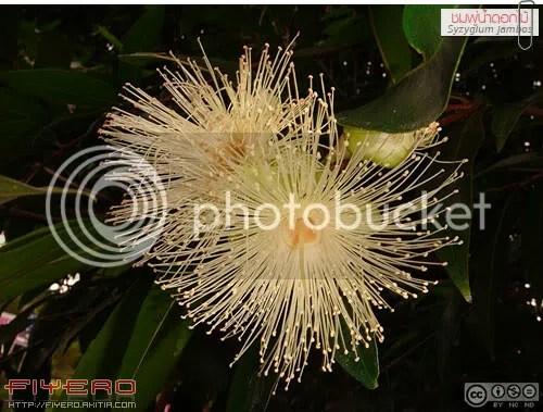 ชมพู่น้ำดอกไม้, Syzygium jambos, Rose Apple, กลิ่นหอม, ฝรั่งน้ำ, ชมพู่น้ำ, ผลไม้, ไม้หายาก, ไม้ไทย, มะชมพู่, มะน้ำหอม, มะชามุต, ยามูปะนาวา, ต้นไม้, ดอกไม้, aKitia.Com