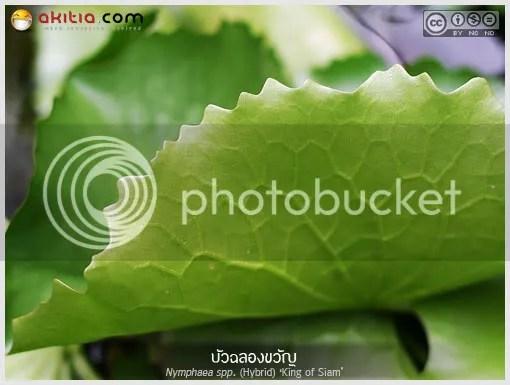 บัวฉลองขวัญ, Nymphaea 'King of Siam', บัว, Water lily, คิงออฟสยาม, บัวสีม่วง, ไม้น้ำ, ชัยพล ธรรมสุวรรณ, Tropical Day Blooming Waterlily, ต้นไม้, ดอกไม้, aKitia.Com