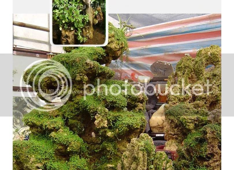 pack 200 rockery grass seeds climbing fresh green traditional garden
