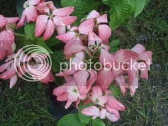 gambar pokok bunga janda kaya yang rimbun