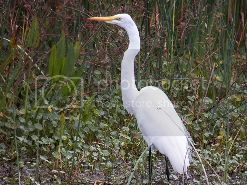 photo great-egret.jpg