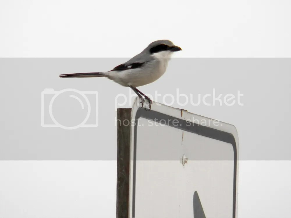photo loggerhead-shrike.jpg