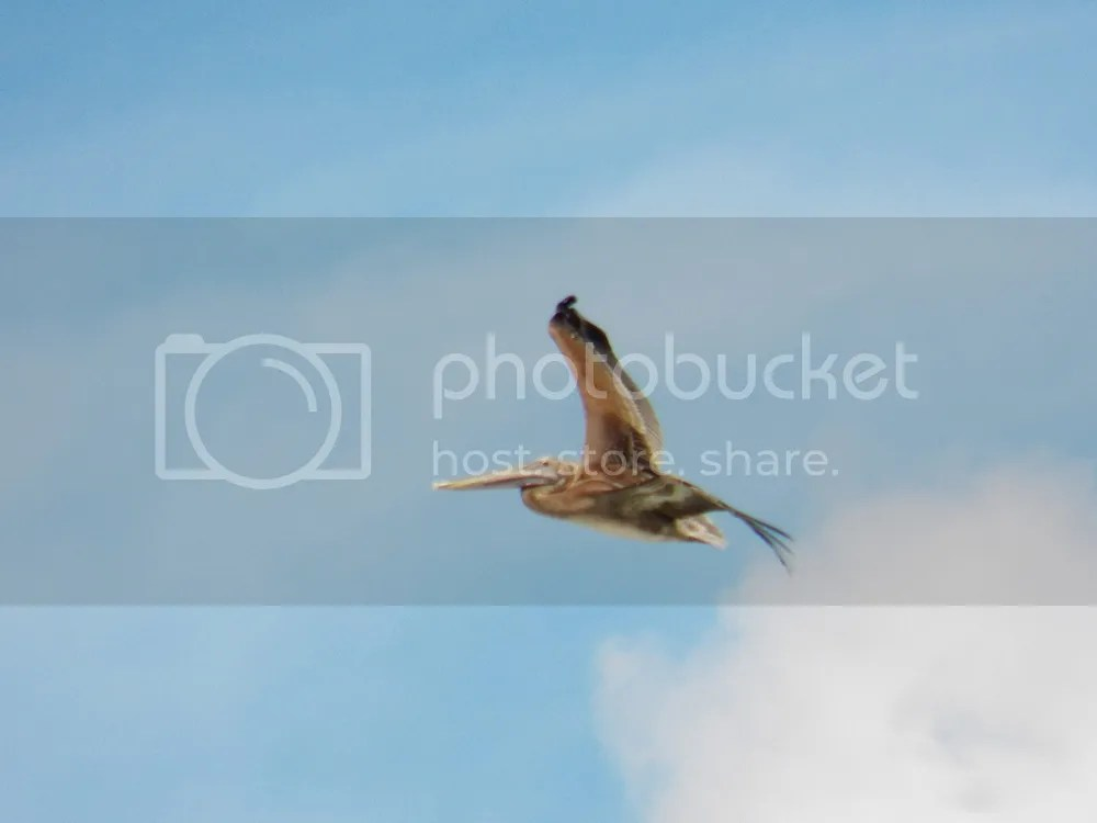 photo brown-pelican1.jpg