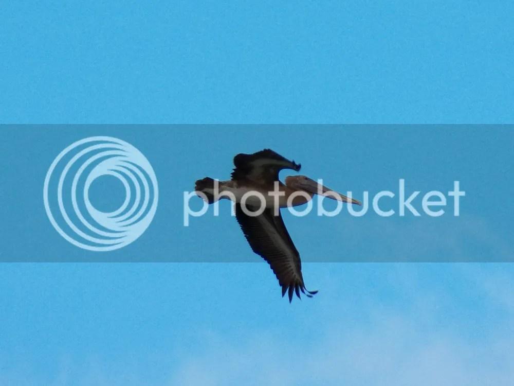 photo brown-pelican2.jpg