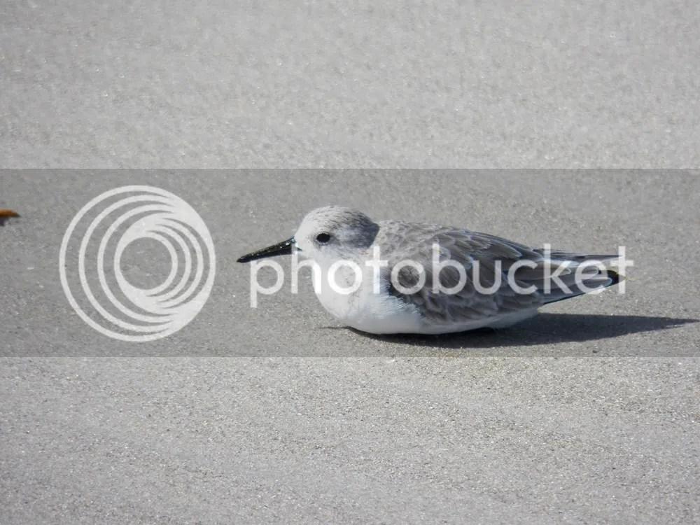photo sanderling-resting.jpg