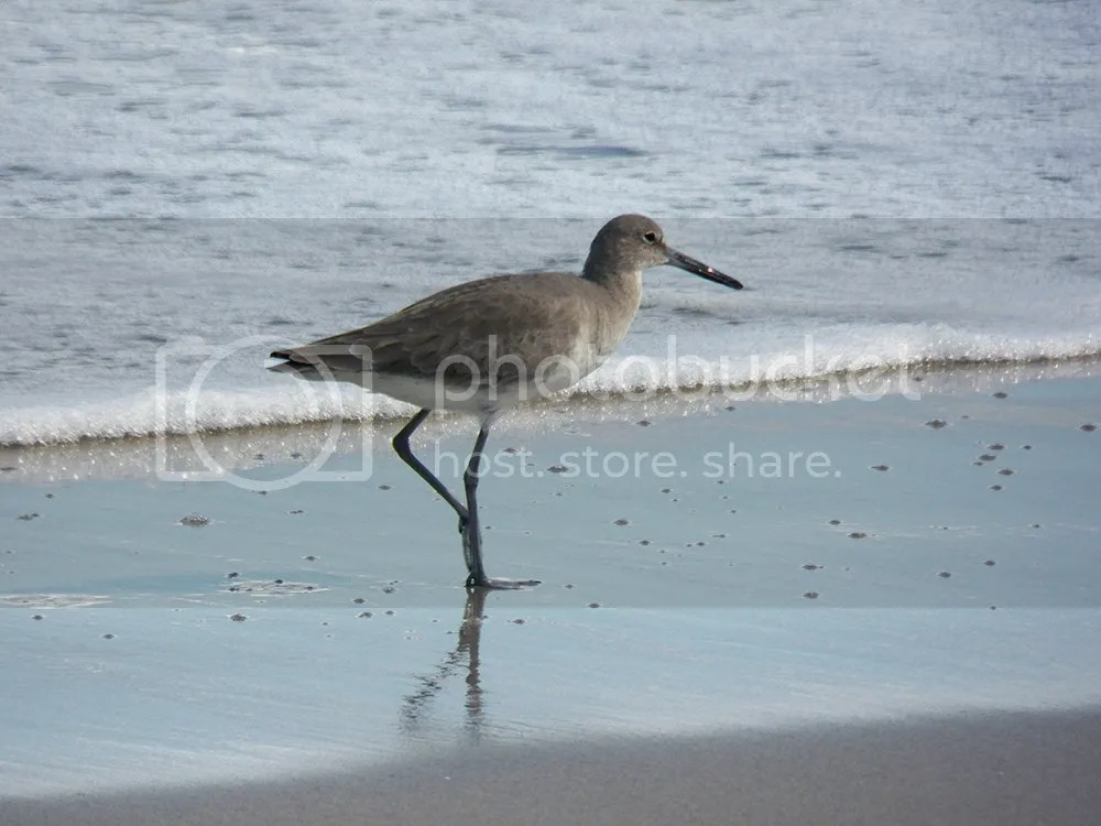 photo winter-willet1.jpg