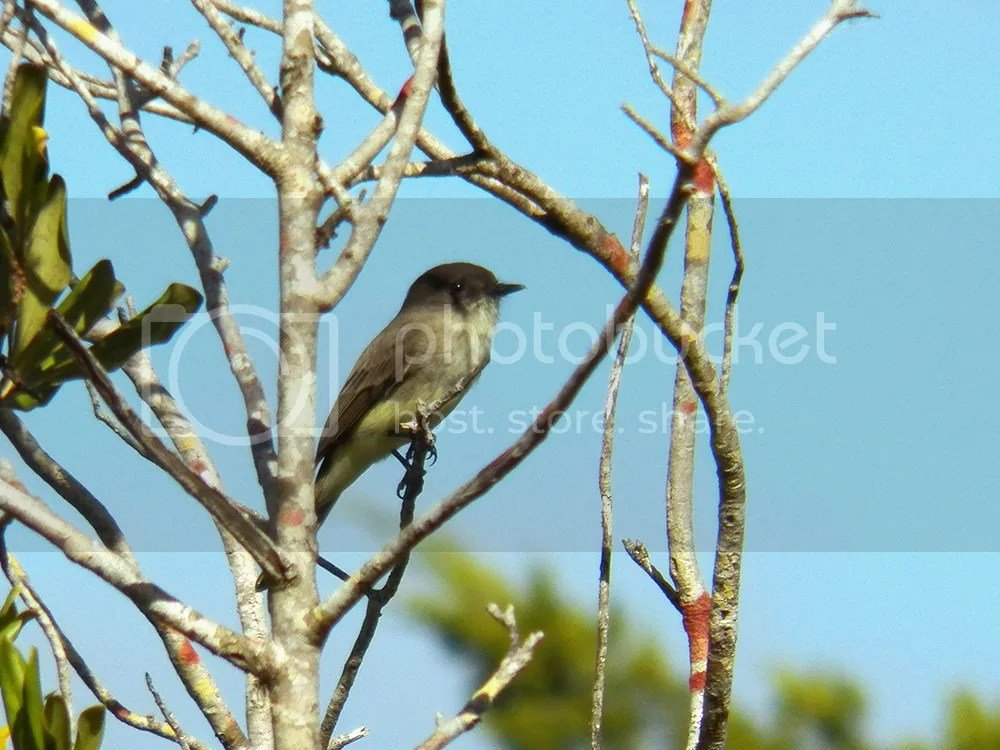 photo eastern-phoebe2.jpg