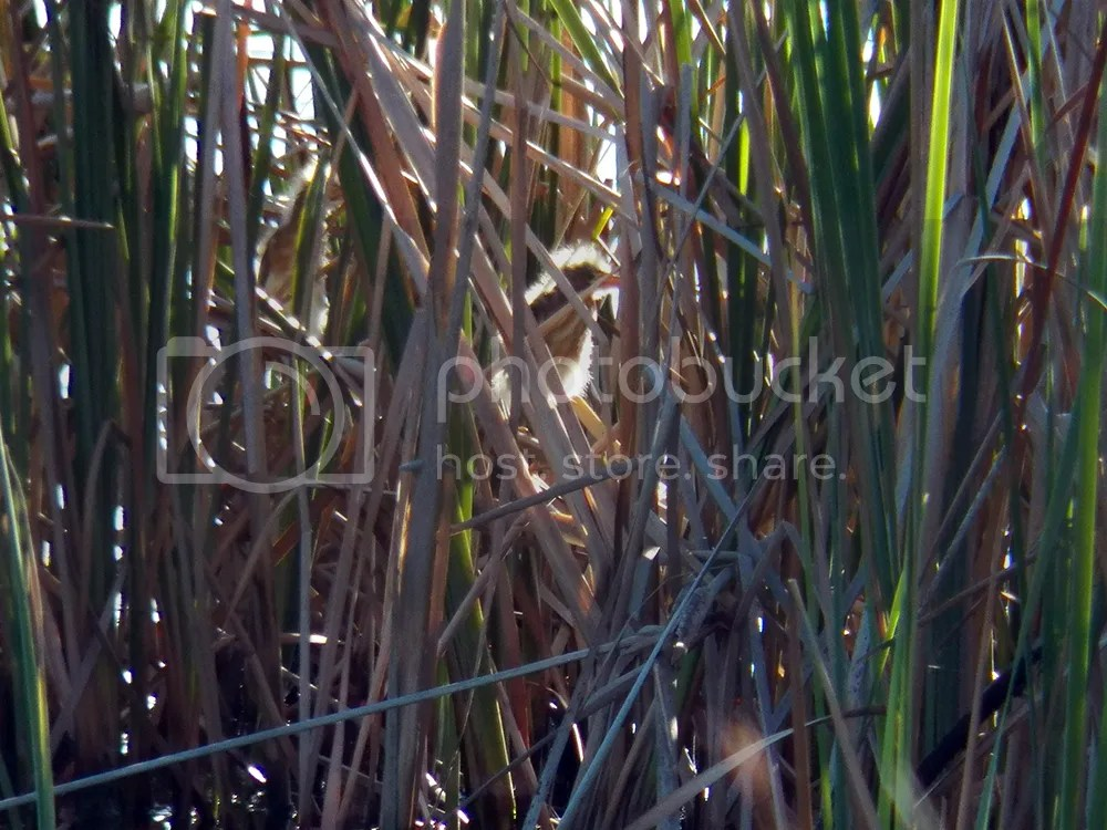 photo least-bittern-chick.jpg
