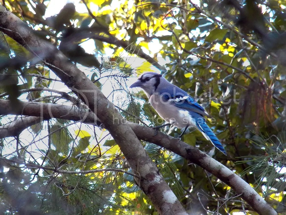 photo blue-jay.jpg