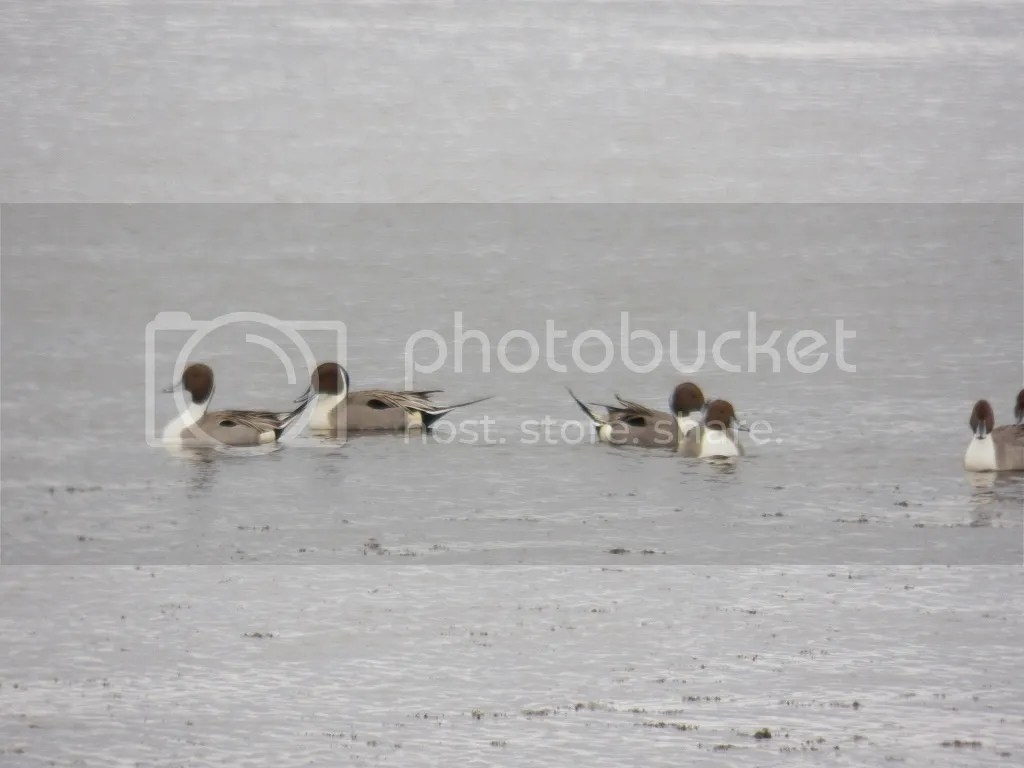 photo pintails1.jpg