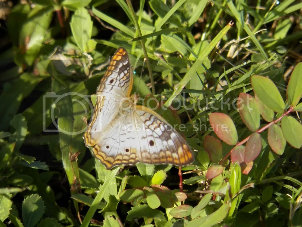 photo white-peacock-butterfly.jpg