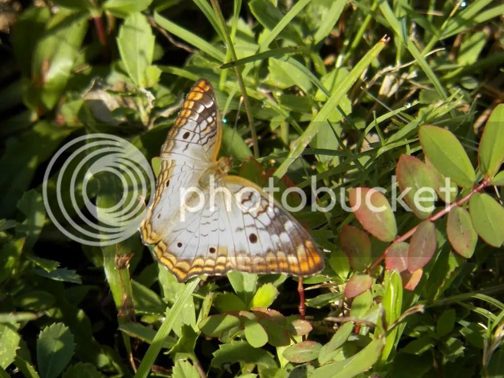 photo white-peacock-butterfly.jpg