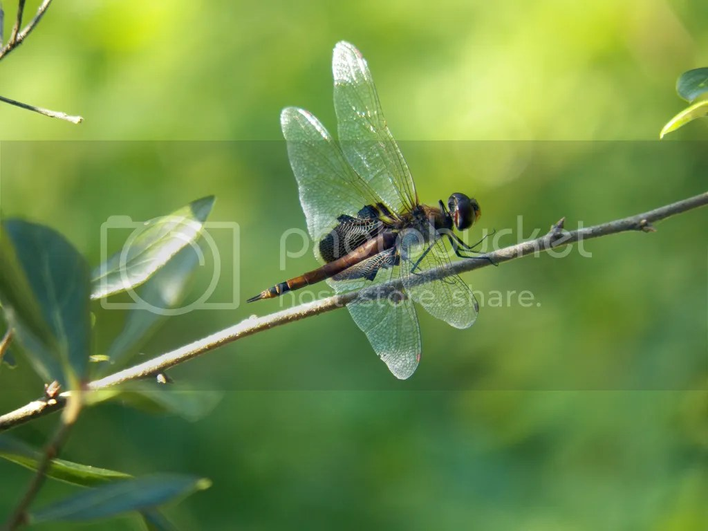 photo another-worn-dragonfly-1.jpg
