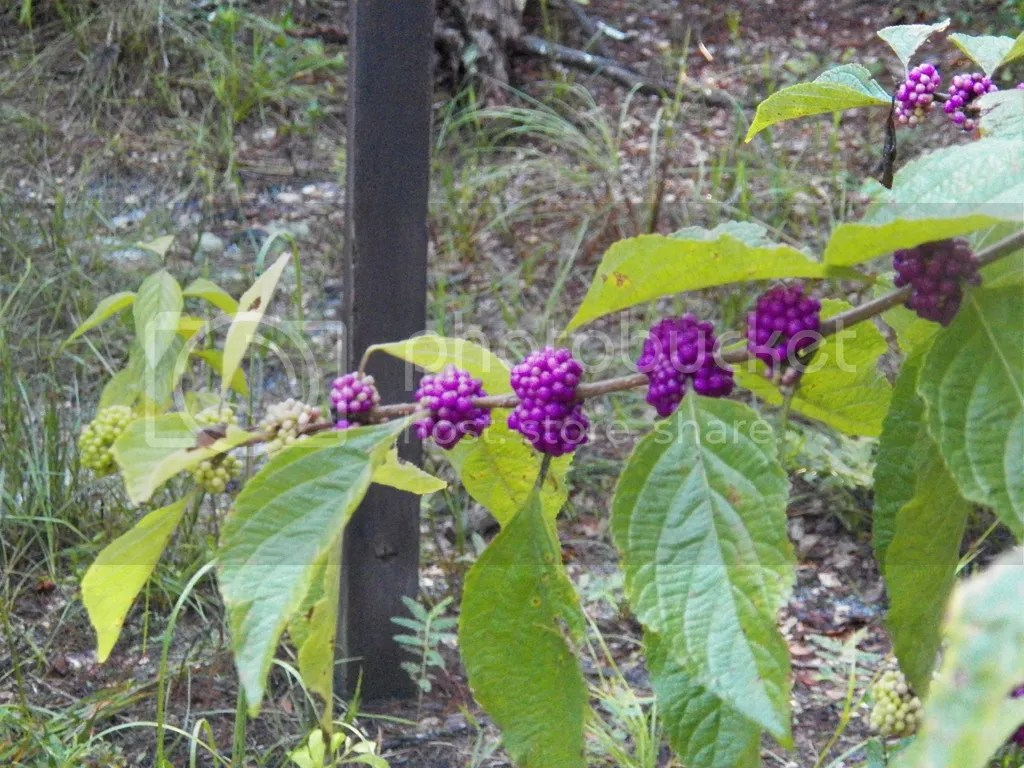 photo beauty-berry.jpg