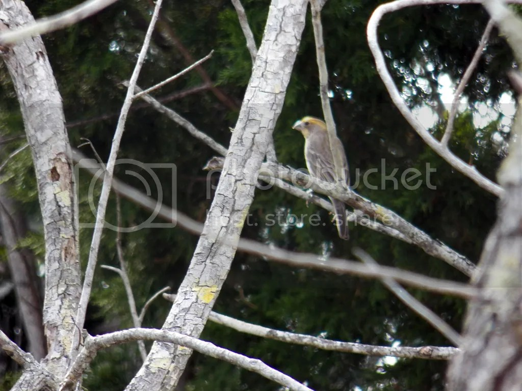 photo yellow-house-finch.jpg