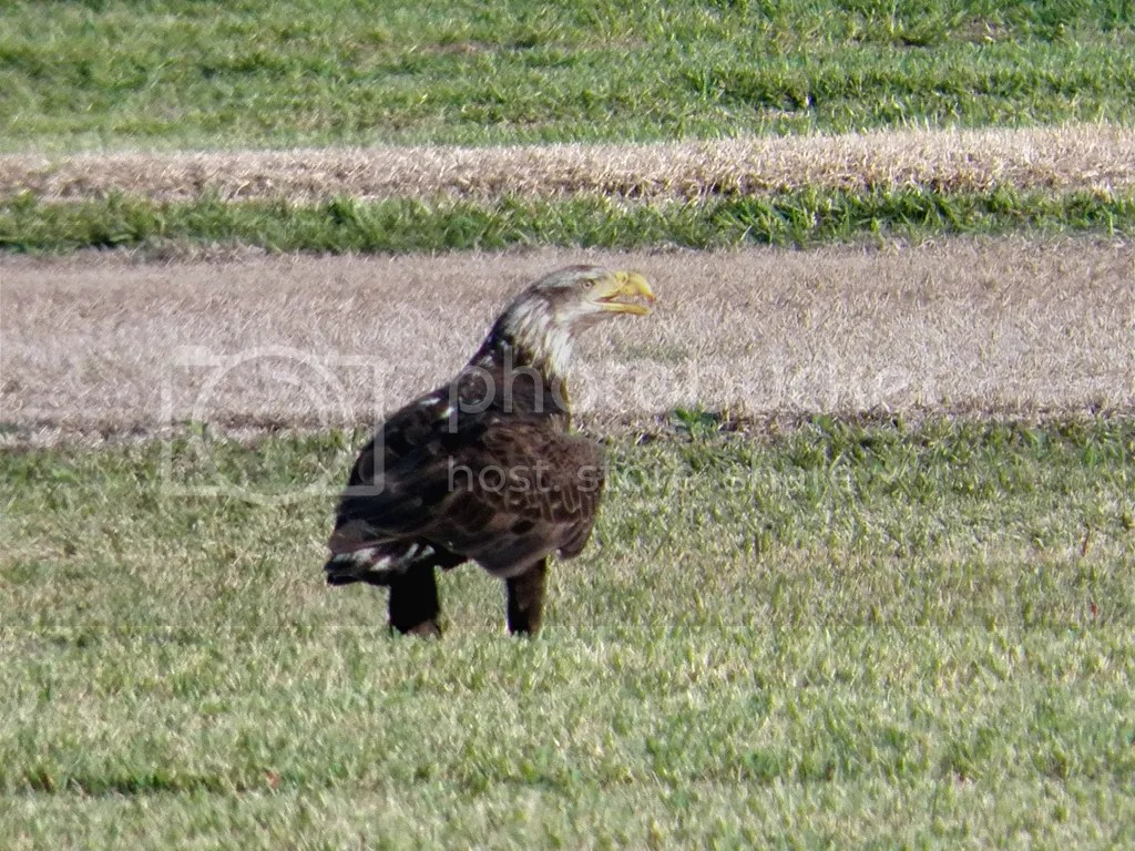 photo imm-bald-eagle.jpg