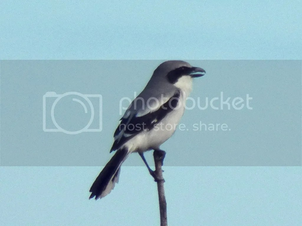 photo shrike.jpg