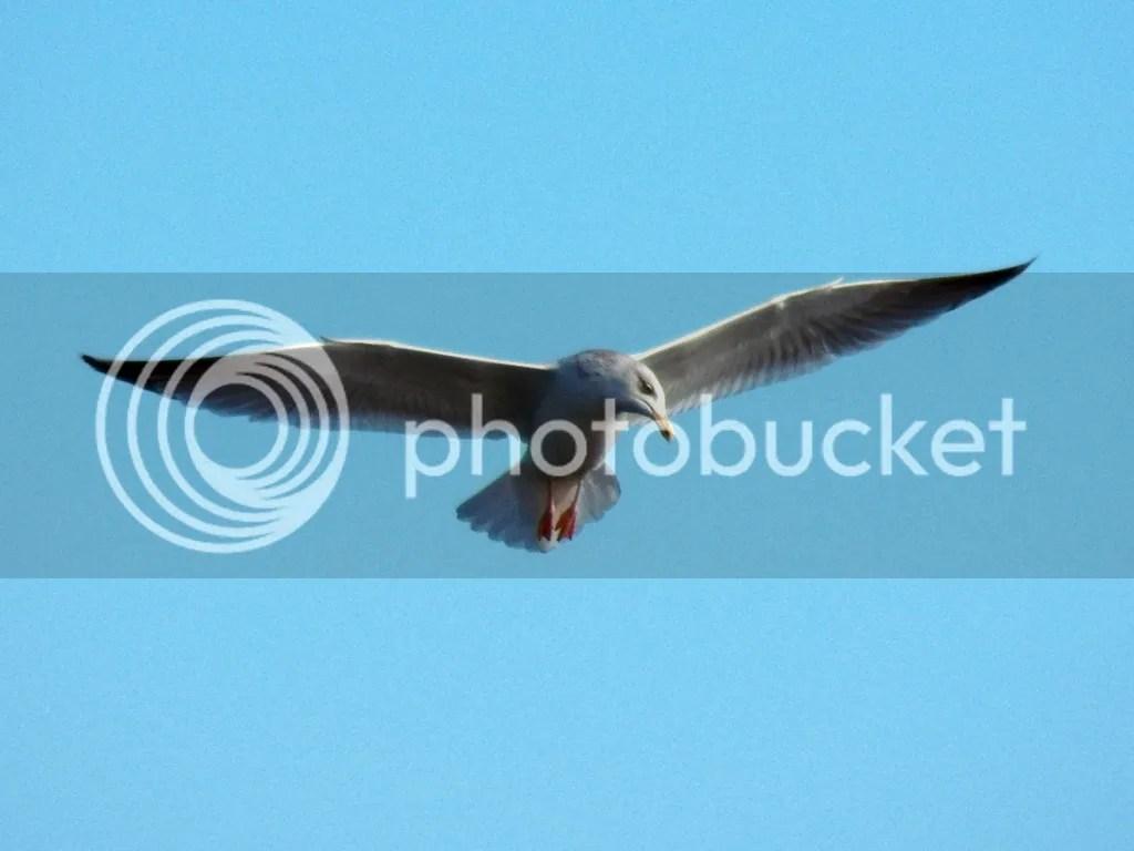 photo herring-gull.jpg
