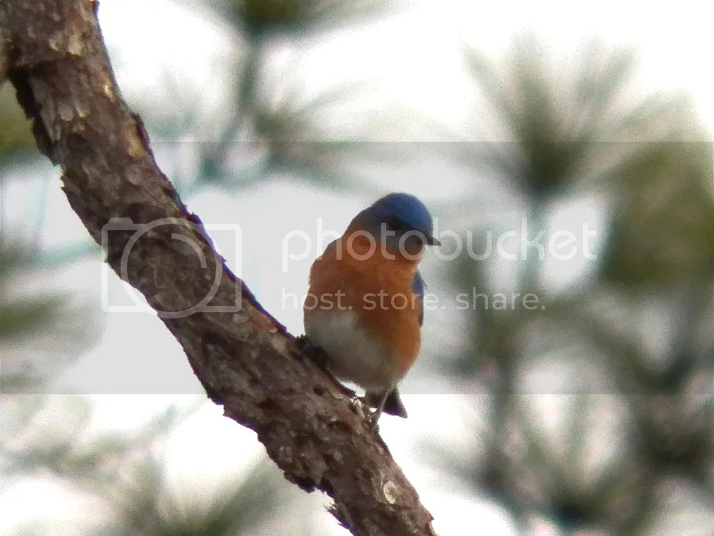 photo eastern-bluebird-perch1.jpg
