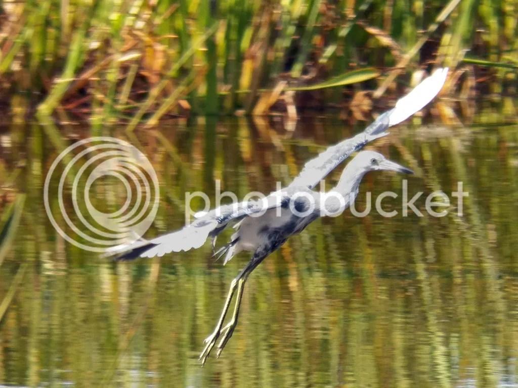 photo little-marble-heron.jpg