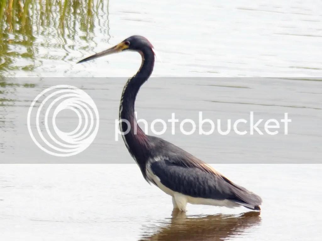 photo tri-colored-heron.jpg