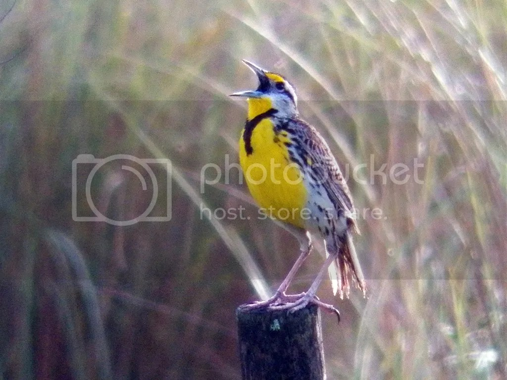 photo singing-meadowlark.jpg