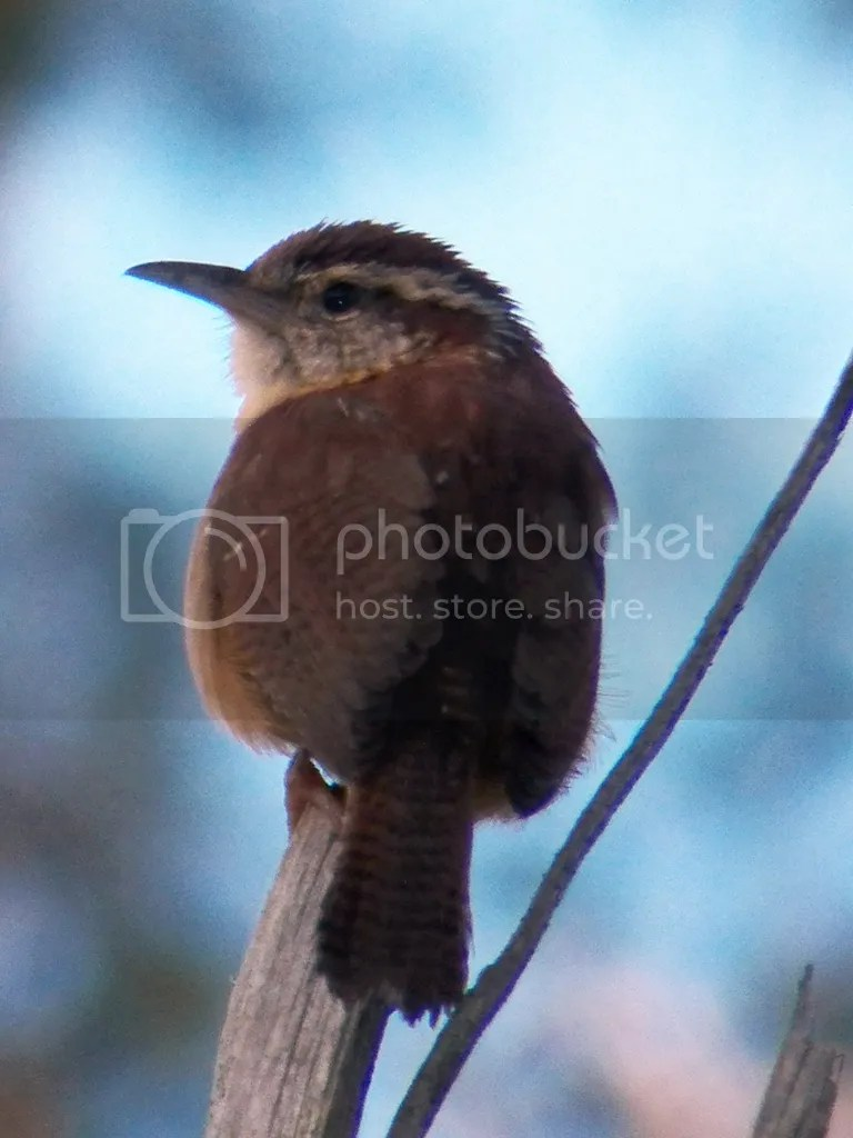photo carolina-wren.jpg