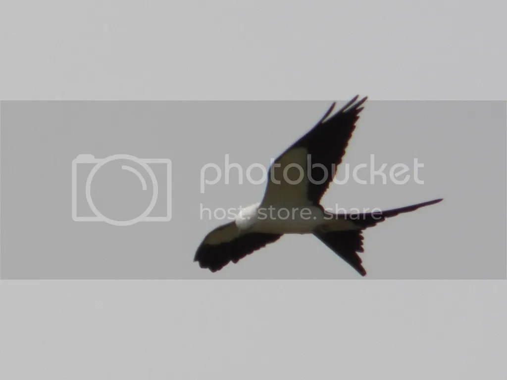 photo swallow-tailed-kite.jpg