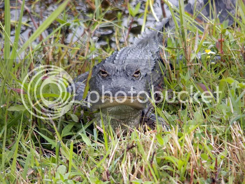photo baby-gator.jpg