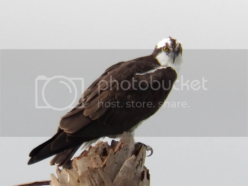 photo osprey.jpg