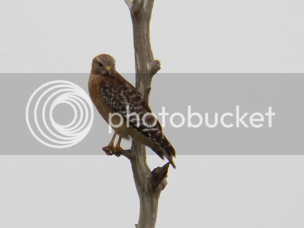 photo red-shouldered-hawk.jpg