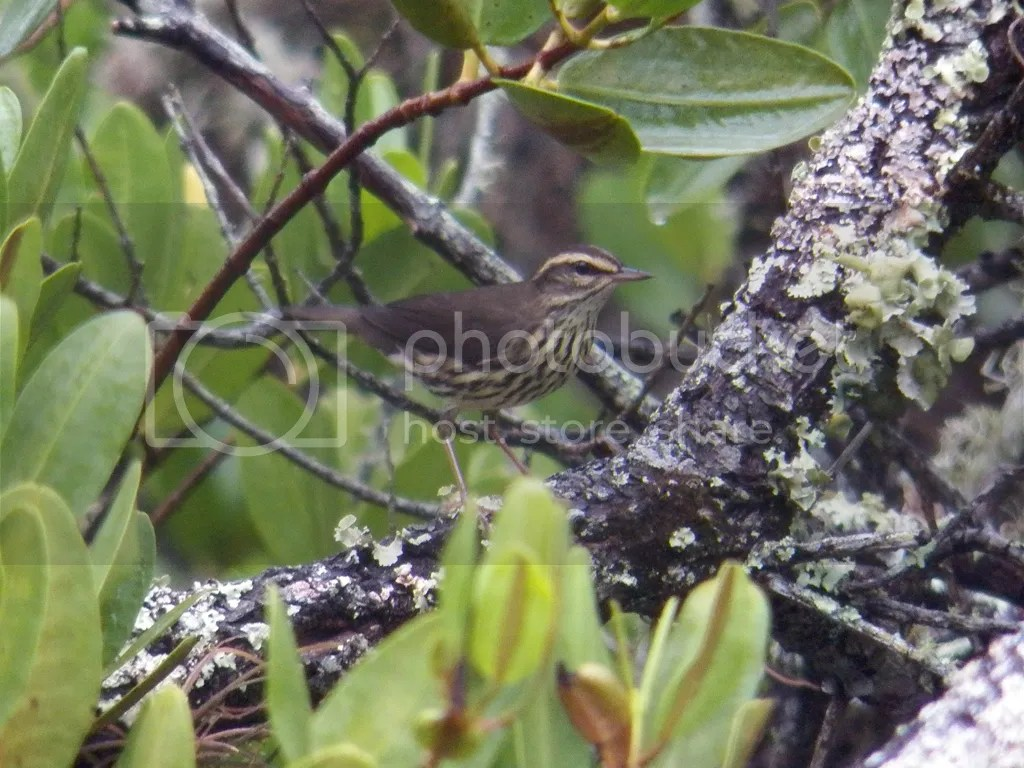 photo northern-waterthrush.jpg