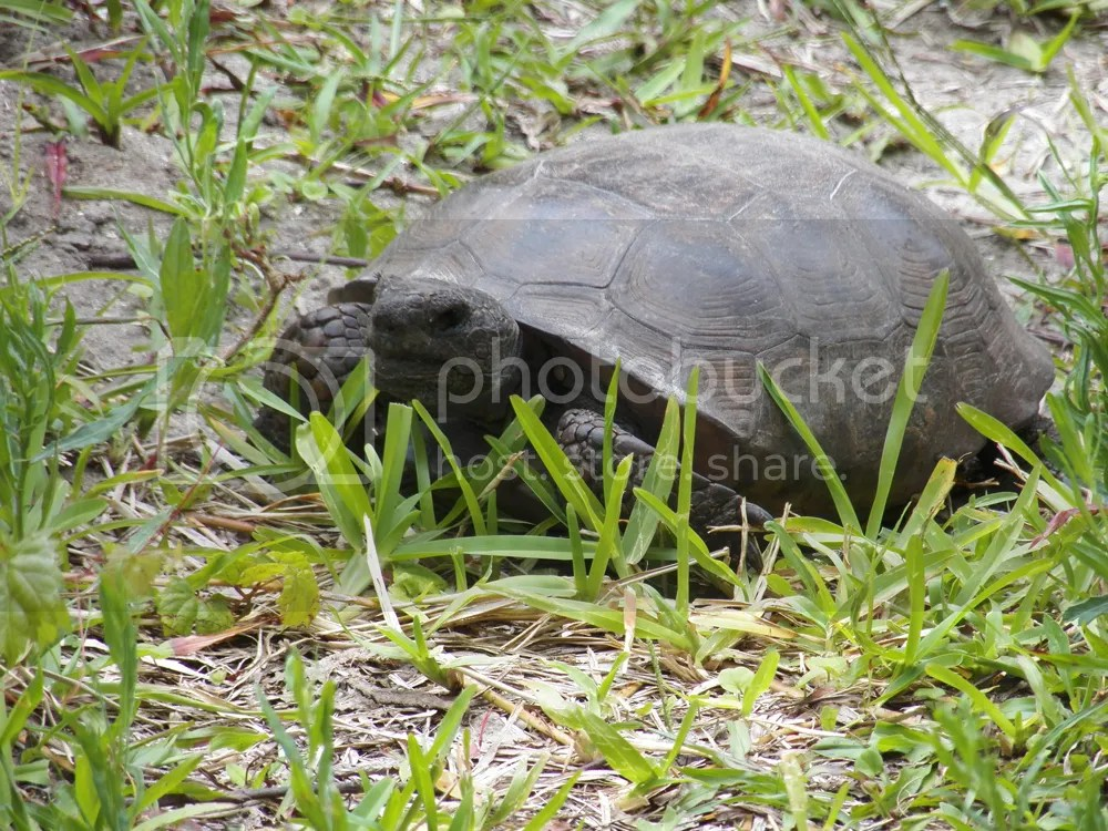 photo another-gopher-tortoise.jpg