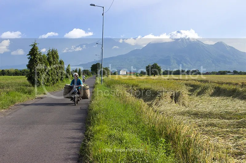 Seorang warga melintas di jalan kampung yang membelah lahan padi di Desa Candi Pari, Porong, berlatar Gunung Penanggungan (kanan) dan Gunung Arjuno-Welirang (kiri) di kejauhan. Desa ini merupakan daerah lumbung padi pada masa Majapahit sampai sekarang.