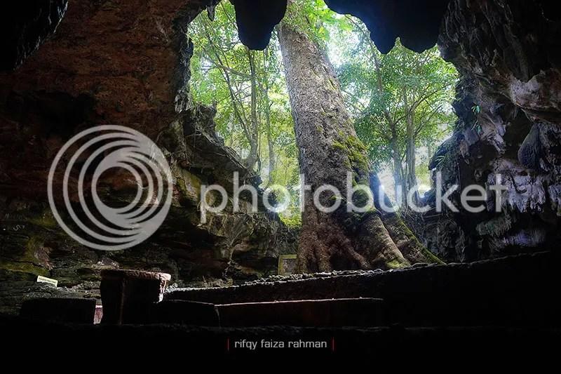 Pohon klumpit berusia 300 tahun yang menjulang di mulut gua Rancang Kencono